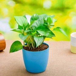 Special lucky Money Plant